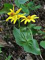 Arnica latifolia (15034510100).jpg