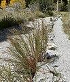Artemisia dracunculus 9.jpg