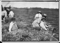 Arthur Fernande, said 8 years old, picking cranberries by hand, and brother Charlie said he was 9 picking with a... - NARA - 523463.tif