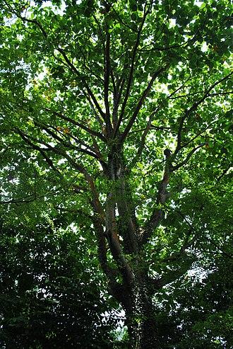 Artocarpus - Image: Artocarpus elasticus Reinw. ex Blume Bendo, Terap