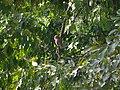 Asian Barred Owlet - Glaucidium cuculoides - P1080008.jpg
