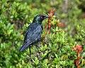 Asian Glossy Starling (Aplonis panayensis strigata).jpg