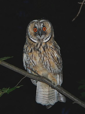 Night owl (person) - Owls, like this one in Poland, are often nocturnal.
