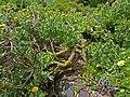 Asteriscus sericeus - Gran Canaria.jpg