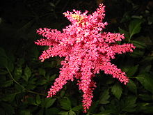 Astilbe - from the top.jpg