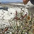 Astragalus preussii var preussii 2.jpg