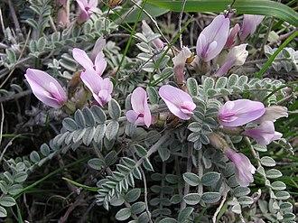Astragalus - Image: Astragalus testiculatus (in bloom) 2