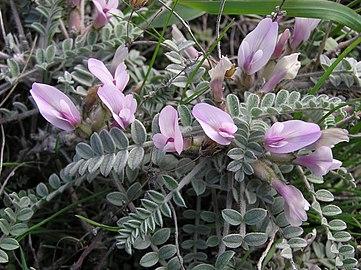Astragalus testiculatus (in bloom) 2