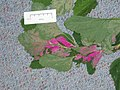Atriplex hortensis L. (AM AK289639).jpg