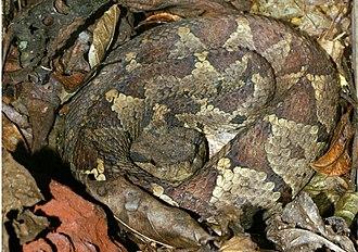 Atropoides mexicanus - Image: Atropoides nummifer 1a