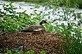 Auburn, WA - Canada Goose on the bank of the Green River.jpg
