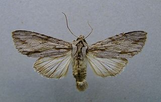 <i>Auchmis</i> Genus of moths