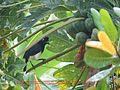 Ave frugívora del papayero (Carica papaya).jpg