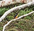 Azure Kingfisher. Ceyx azureus (48694016007).jpg