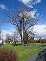 Březiněves, strom v parku.jpg