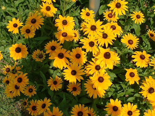 Black-eyed susans, the state flower, grow throughout much of the state. BESusan.JPG