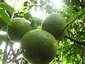 Babloos Naranga IMG 4329.JPG