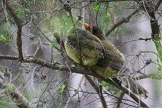 Bell miner - immature birds