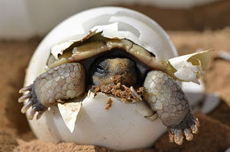 Desert tortoise - Hatching baby desert tortoise