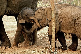 Asian elephant - A 5-month-old calf and its 17-month-old cousin in a sanctuary in Laos