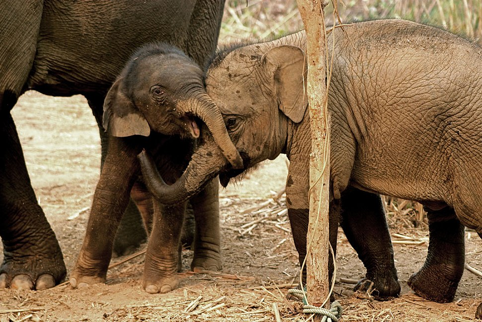Baby elephants at the Elephant Conservation Center (Laos)