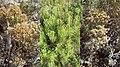 Baccharis genistifolia poster Uruguay.jpg