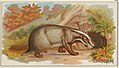 Badger, from the Quadrupeds series (N21) for Allen & Ginter Cigarettes MET DP835101.jpg