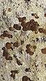 Baeomyces rufus 59341121.jpg