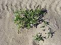Baie de Canche. Fleur des sables.JPG