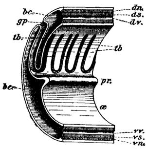 Acorn worm - Image: Balanoglossus 2