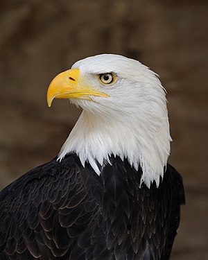 National symbols of the United States - Image: Bald Eagle Portrait