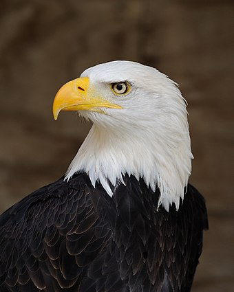 The bald eagle has been the national bird of the United States since 1782. Bald Eagle Portrait.jpg