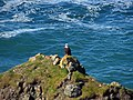 Bald Eagle at Pacific Coast in Oregon 1.jpg
