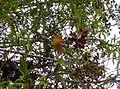 Baltimore Oriole. Icterus galbula - Flickr - gailhampshire.jpg