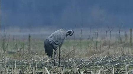 File:Baltsende en parende kraanvogels-Stichting Natuurbeelden-170687.webm