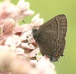 Banded Hairstreak, Megan McCarty120.jpg