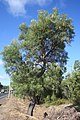 Banksia littoralis roadside Bunbury 1.JPG
