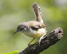 Bar-winged Prinia (Prinia familiaris) 1.jpg