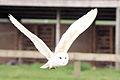 Barn Owl - Woburn Safari Park (4565079203).jpg