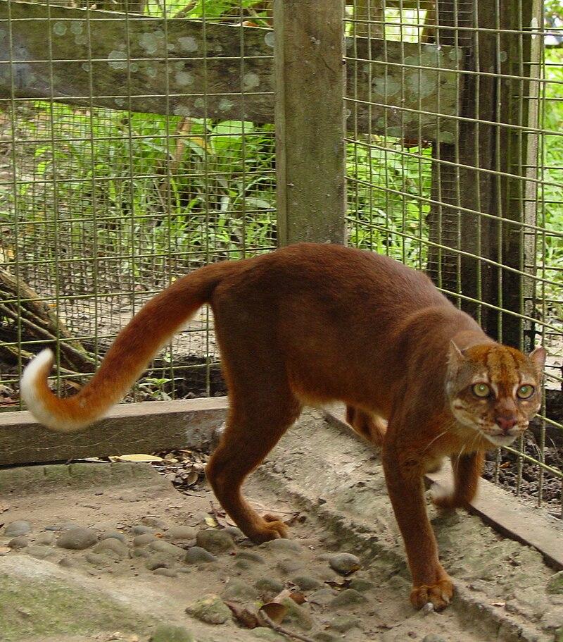 """Bay cat 1 Jim Sanderson"" by Jim Sanderson - work of Jim Sanderson. Licensed under CC BY-SA 3.0 via Wikimedia Commons - https://commons.wikimedia.org/wiki/File:Bay_cat_1_Jim_Sanderson.jpg#/media/File:Bay_cat_1_Jim_Sanderson.jpg"