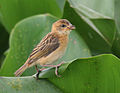 Baya Weaver (Ploceus philippinus)- Immature in Kolkata I IMG 8140.jpg