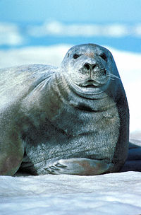 Bearded Seal Erignathus barbatus.jpg