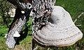 Beautiful white Fomes fomentarius (Tinder fungus or Ice man fungus, D= Zunderschwamm, F= Amadouvier, NL= Echte tonderzwam) in the Dordogne - panoramio.jpg