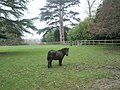 Bedraggled pony at Staunton Country Park - geograph.org.uk - 1592362.jpg