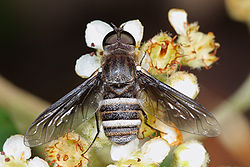 meaning of bombyliidae