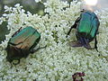 Beetle Greece 2705.JPG