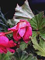 Begonia bulwiasta.jpg