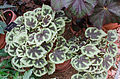 Begonia masoniana (expo orangerie).jpg