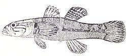 definition of eleotridae