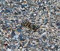 Bembix oculata^ Crabronidae. - Flickr - gailhampshire.jpg